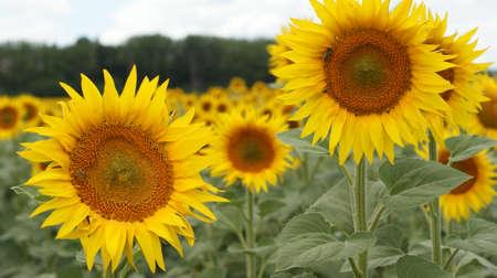 Sunflowers garden. Sunflowers have abundant health benefits. Sunflower oil improves skin health and promote cell regeneration. Stok Fotoğraf - 159853923