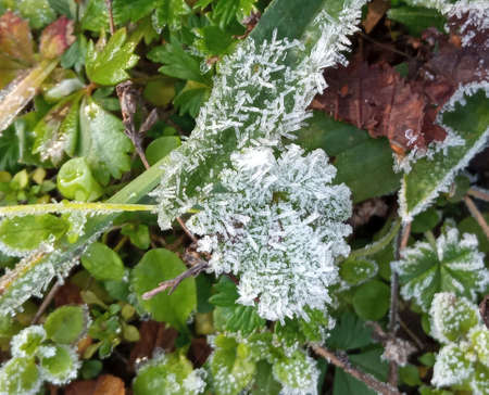 A close-up of ice crystals formed on the edge of a leaf. Frost on green leaves Stok Fotoğraf - 161056675