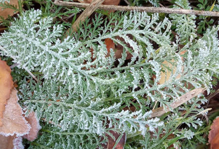 A close-up of ice crystals formed on the edge of a leaf. Frost on green leaves