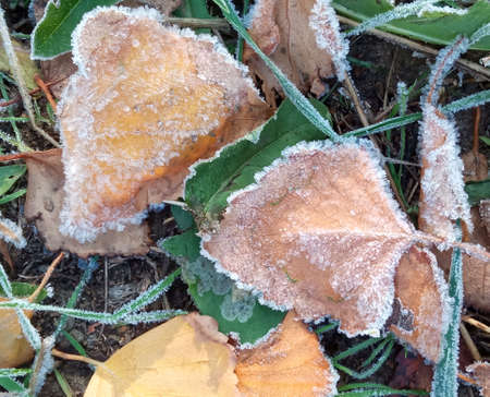 Autumn yellow leaf on a branch in frost needles. Morning frost. Rime. Late fall. Stok Fotoğraf