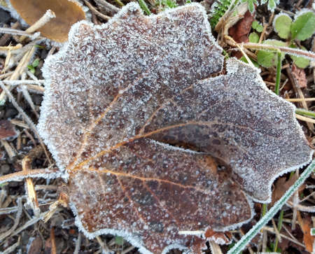 Autumn yellow leaf on a branch in frost needles. Morning frost. Rime. Late fall. Stok Fotoğraf - 161056699