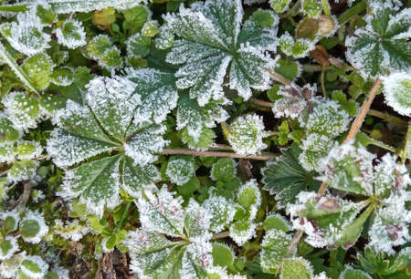 A close-up of ice crystals formed on the edge of a leaf. Frost on green leaves Stok Fotoğraf - 161056896