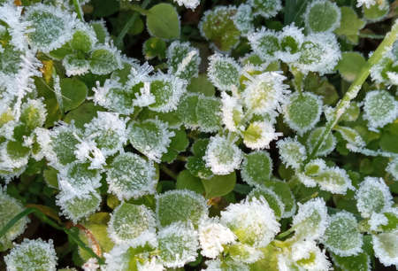 A close-up of ice crystals formed on the edge of a leaf. Frost on green leaves Stok Fotoğraf - 161056909