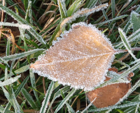 Autumn yellow leaf on a branch in frost needles. Morning frost. Rime. Late fall. Reklamní fotografie