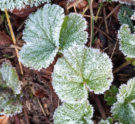 A close-up of ice crystals formed on the edge of a leaf. Frost on green leaves Stok Fotoğraf - 161056915