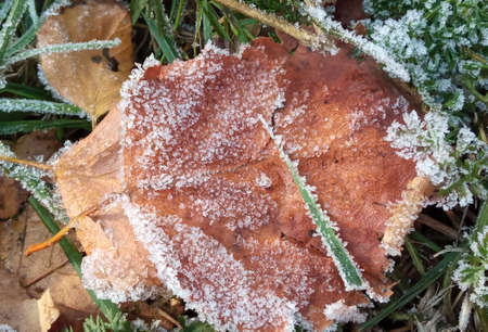 Autumn yellow leaf on a branch in frost needles. Morning frost. Rime. Late fall. Stok Fotoğraf - 161056923