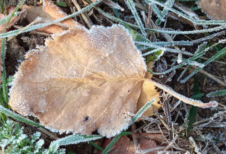 Autumn yellow leaf on a branch in frost needles. Morning frost. Rime. Late fall. Stok Fotoğraf - 161057059