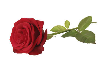red color: Vector of a realistic red rose on white background