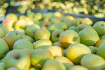 Green apples Golden Delicious Reklamní fotografie