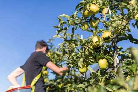 Man picking green apples Reklamní fotografie