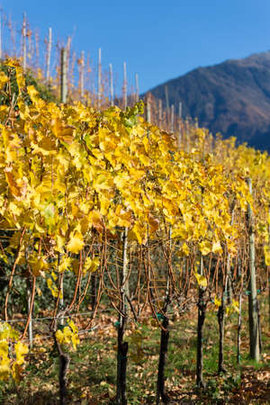 Vineyard with yellow leaves in autumn