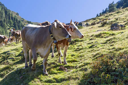 Cows on a mountain pasture in the Alps Reklamní fotografie