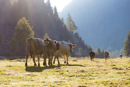 Driving down of cows from the mountain pastures into the valley in autumn Reklamní fotografie