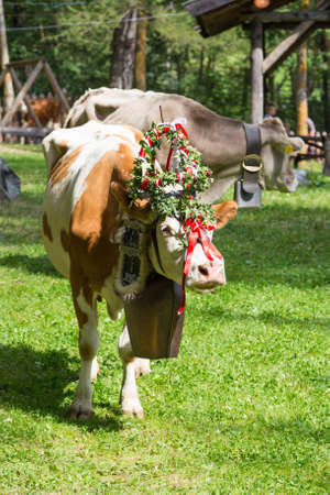 Decorated cow in the valley