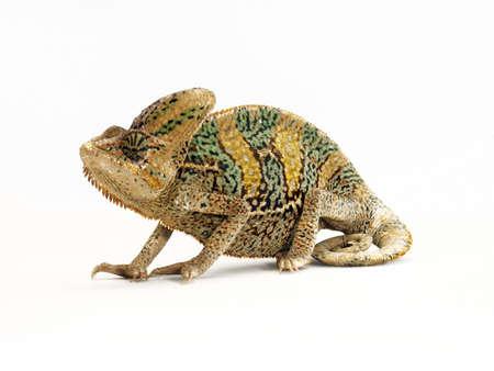African chameleon on white background Stock Photo