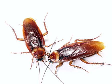 Cockroaches on white  Stock Photo