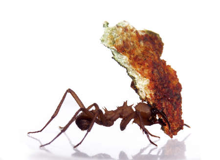 Ant carrying piece of meat Stock Photo
