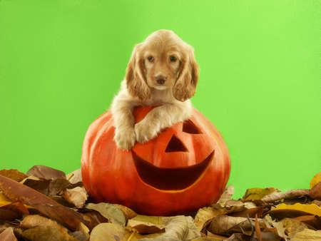 Dog on top of Halloween carved pumpkin head Stock Photo