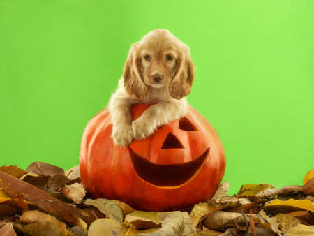 Dog on top of Halloween carved pumpkin head Standard-Bild