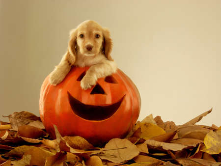 Dog on top of Halloween carved pumpkin head Stock Photo
