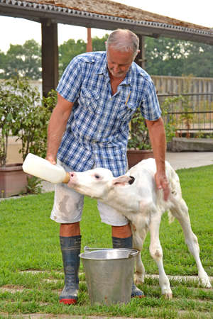 suckle: Farmer feeding a little baby white cow with milk bottle. Stock Photo