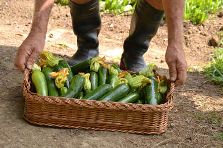 controling: Farmer collecting zucchini basket from crop.
