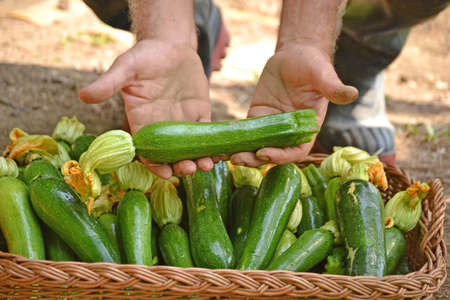collecting: Farmer collecting zucchini basket from crop.