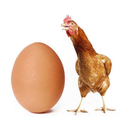 Hen behind big egg on white Stock Photo
