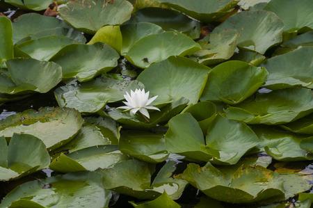 nymphaea odorata: White lily flower
