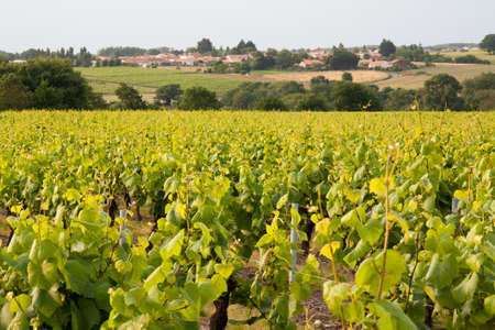 Grapes in the vineyards of Muscadet Nantes in France Imagens
