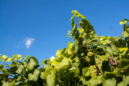 muscadet: Grapes in the vineyards of Muscadet Nantes in France Stock Photo