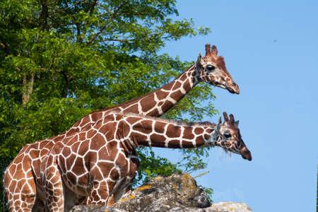 Couple of giraffes photo
