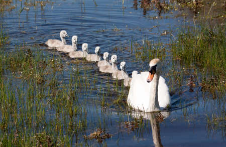 Swan and her babies at Marquenterre park in the region Picvardie in France