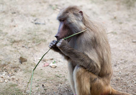 dissect: Baboon monkey trying to dissect a branch