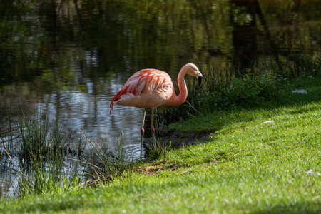 Flamingo at the edge of a pond