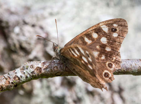 speckled wood: Speckled Wood butterfly resting on a branch