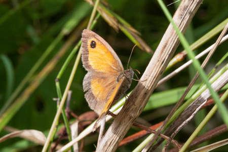 Pieris, Pieris brassicae - Butterfly sitting on a grass photo
