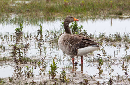 greylag: Greylag Goose legs in a swamp Stock Photo