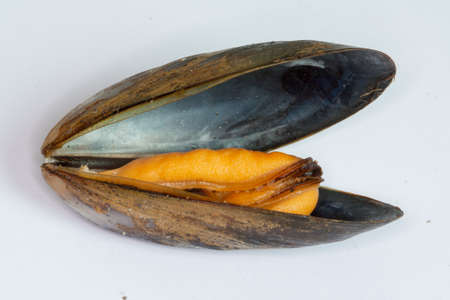 Blue mussel cooked, open on white background Imagens