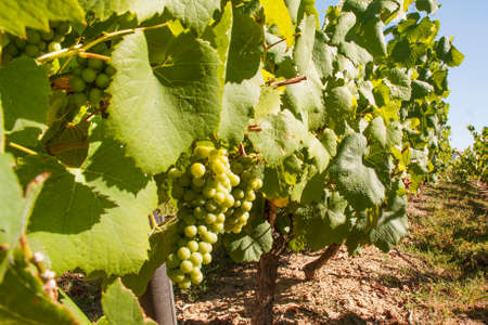muscadet: Grapes in the vineyards of Muscadet - Nantes, Loire Atlantique - France Stock Photo
