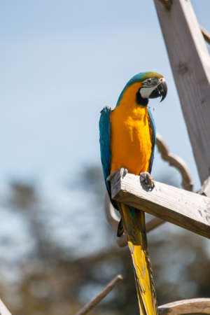 Grand Macaw - Ara ararauna - with a hazelnut in beak photo