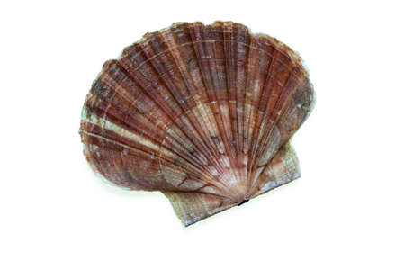 coquille: Coquille Saint Jacques on white background