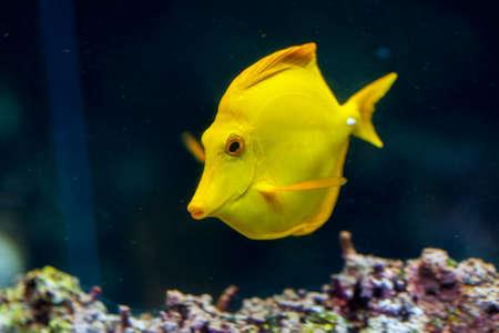 surgeon fish: Pez cirujano - zebrasoma - nadando sobre el fil�n