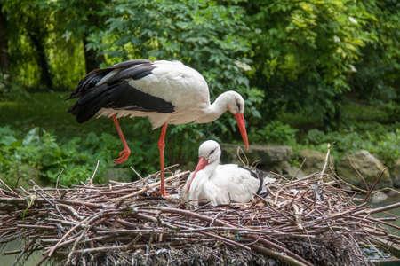 White Stork - Ciconia ciconia - nest Imagens - 29983335