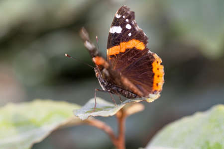 vanessa: Vulcan Butterfly (Vanessa atalanta) on a leaf
