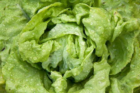 cur: Cur lettuce in drops \ water Stock Photo