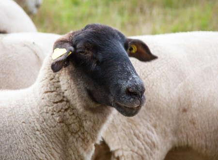 mouton noir: Chef mouton noir, Ovis aries Banque d'images
