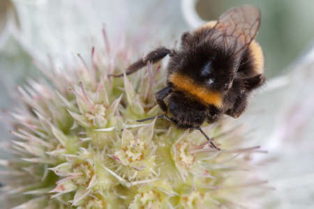 bombus: Bumblebee - Bumblebee Bombus terrestris - name buff-tailed bumblebee common - a sea Panicaut