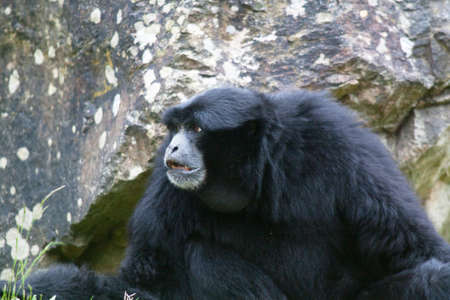 siamang: Siamang monkey - Symphalangus syndactylus - close-up