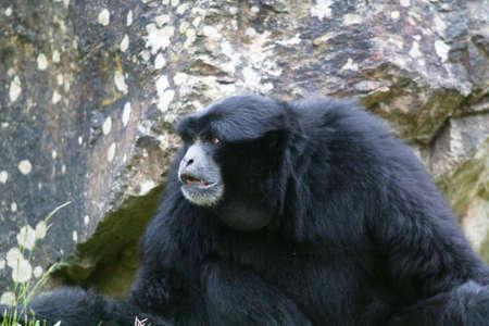 Siamang monkey - Symphalangus syndactylus - close-up